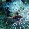 Autor: Xavi Piñol Esteban, Títol: Un peix lleó vermell o simetria bilateral?